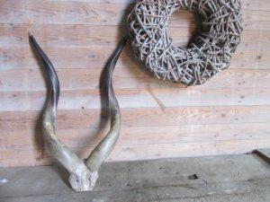 Oud hoorns met schedel