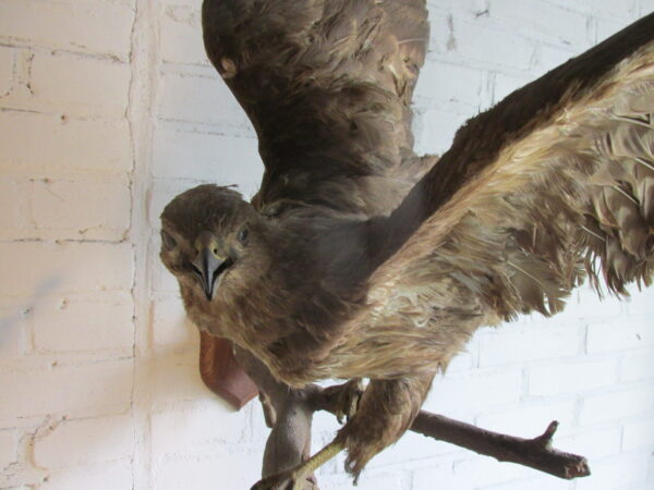 Taxidermy oude opgezette buizerd